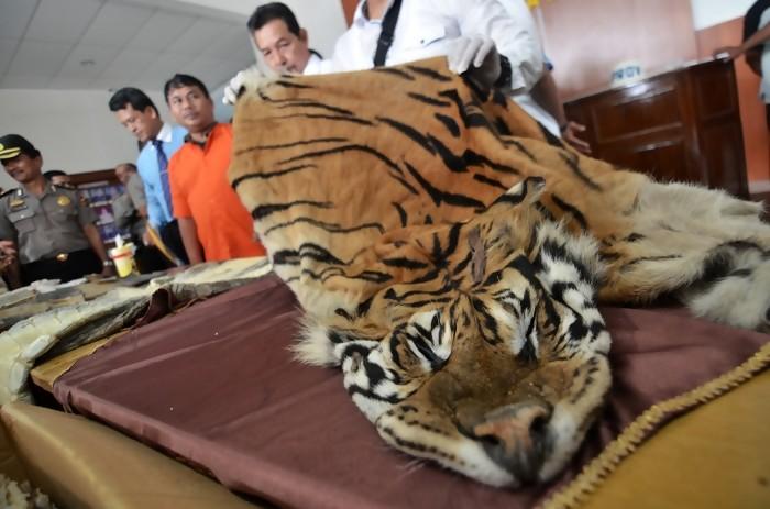 penjualan kulit harimau sumatera
